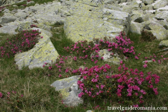 Rhododendron flowers in Rodnei mountains