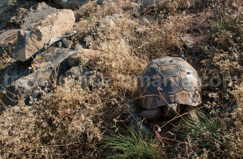 Dry turtles (Testudo graeca ibera) - Dobrogei Mountains