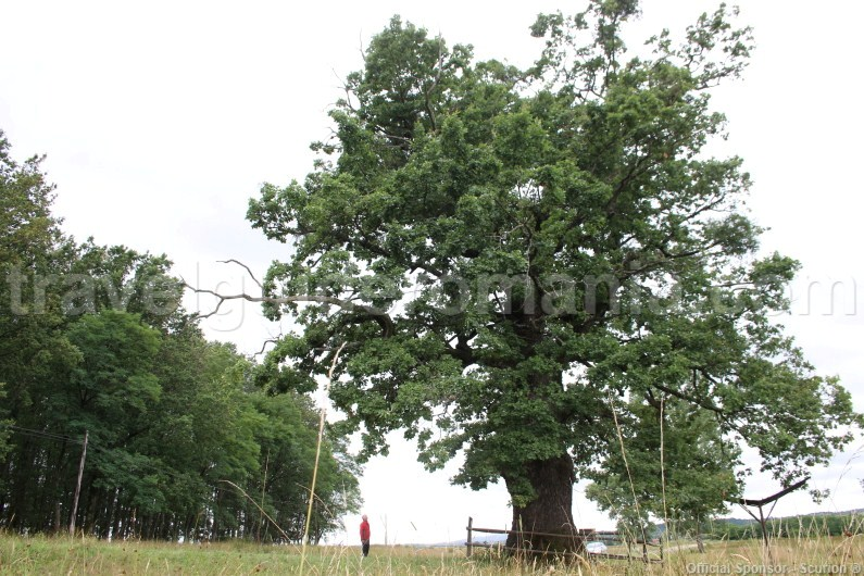 400-year-old oak tree, a natural monument - Remetea
