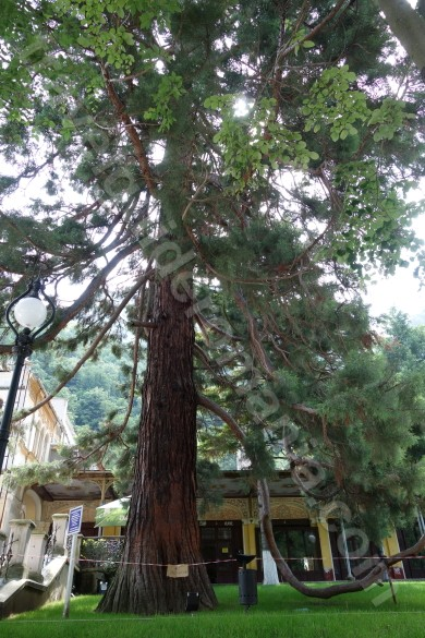 Sequoia tree in Baile Herculane Baths - Cernei valley