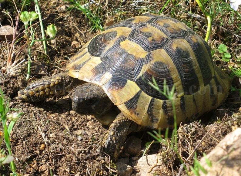 Danube Gorges The Natural Park Portile de Fier trescovat route hermann's tortoise