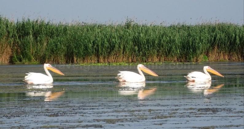 Danube Delta Nature Reserve pelicans