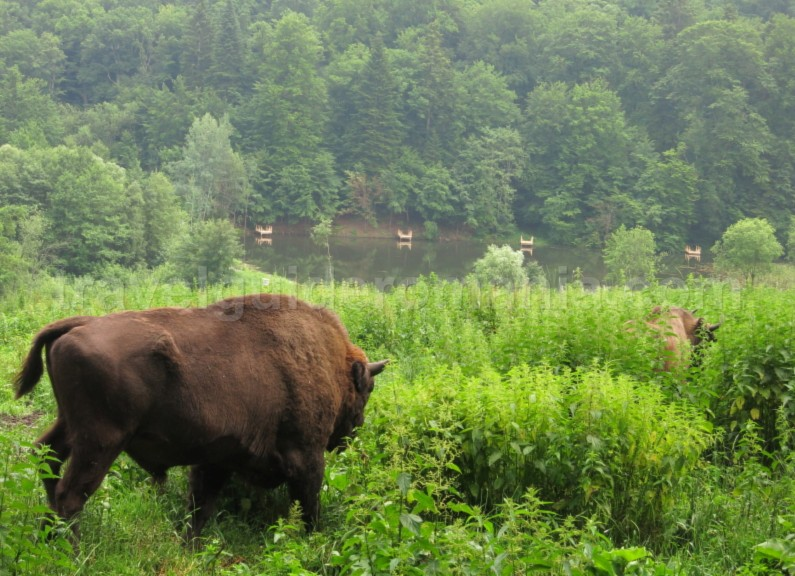 The Bison Land Natural Park Vanatori Neamt