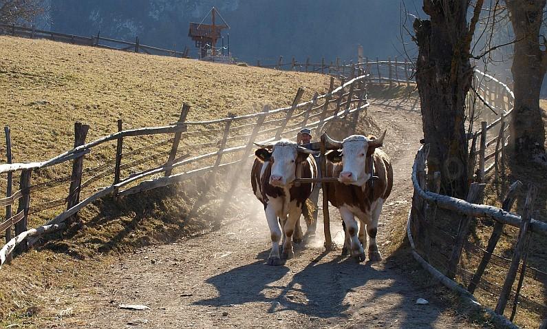 trascau_oxen-cart